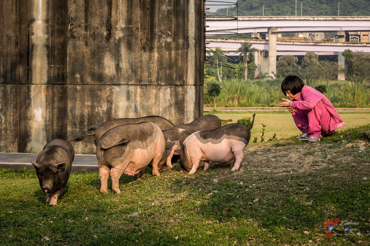 Cochons taïwananais