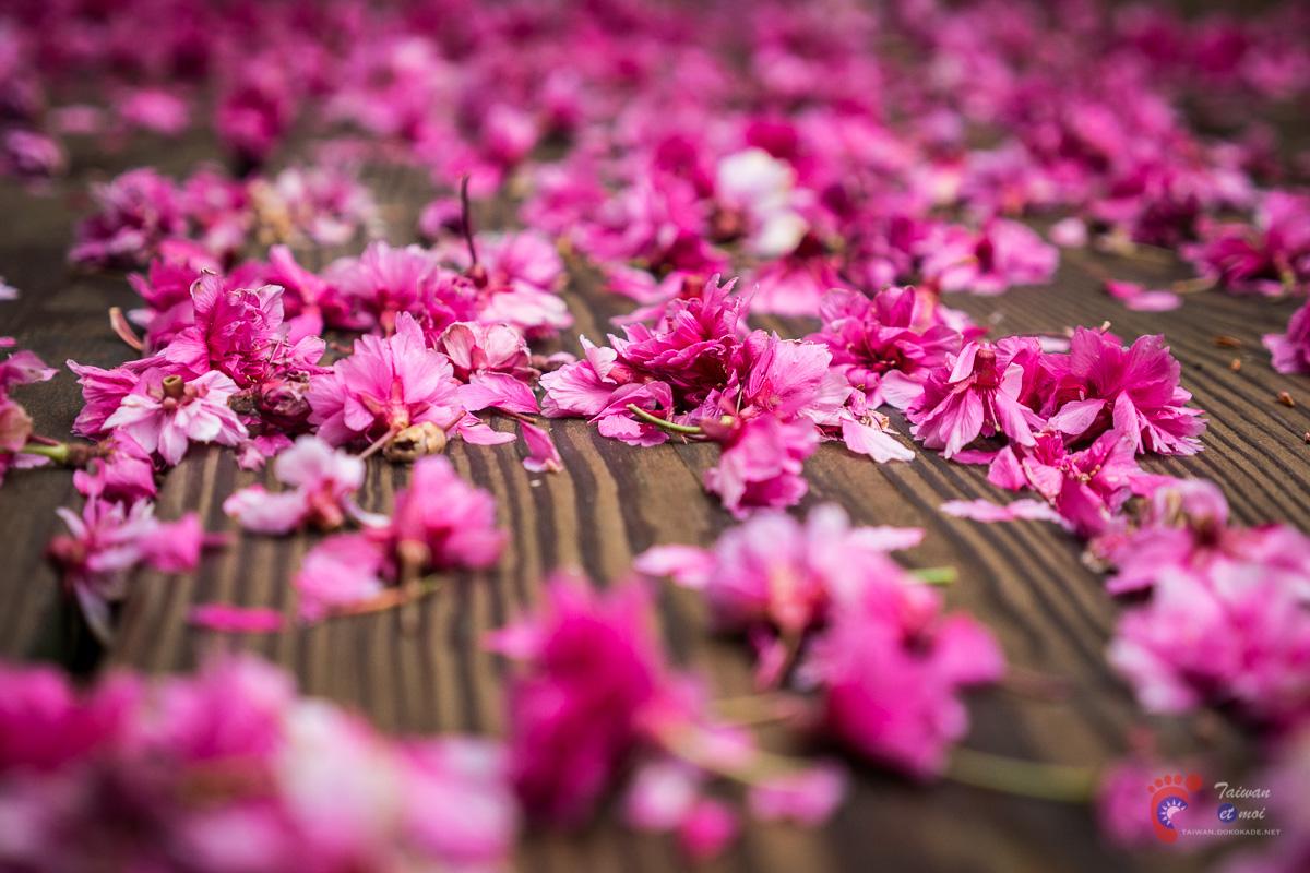 Cerisier taïwanais